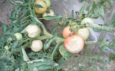 番茄患上日烧病怎么办?番茄日烧病的症状表现及其防治方法