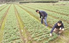 浙江庆元:因地制宜 推广贝母、水稻轮作新模式