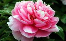 牡丹花怎么养护?牡丹花的四季养护方法