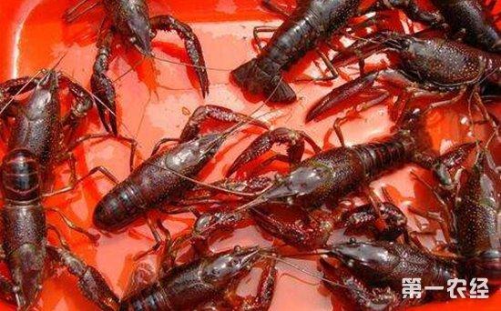 小龙虾养殖:小龙虾养殖技术