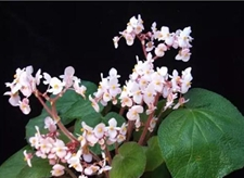 云南省植物审定4个秋海棠为新品种