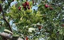 """枣树种植:枣树喷施叶面肥的""""八大注意"""""""