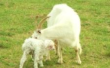 母羊难产怎么办?母羊难产的救助方法
