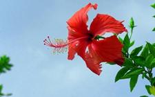 扶桑花怎么繁殖?扶桑花的扦插繁殖方法介绍