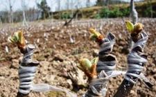 猕猴桃种植:猕猴桃的嫁接方法及管理
