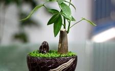 发财树怎么养护?发财树的四季养护方法