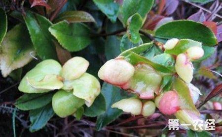 是茶树叶的变形体,长得白嫩晶亮