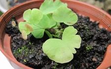 铁线蕨怎么繁殖?铁线蕨的繁殖方法