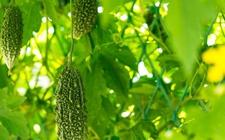 苦瓜反季节栽培的六大技术要点详解