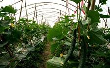 大棚种植技术:大棚内黄瓜和辣椒的间作技术介