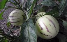人参果种植:人参果的高效种植管理技术