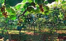 猕猴桃种植:幼龄期猕猴桃的管理方法建议