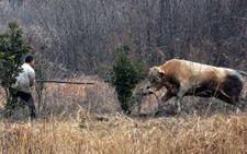 湖北李店:发狂公牛连伤五位村民被击毙