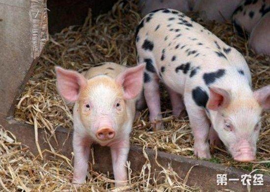 黑心饲料都会加上一些诱食剂,让猪非常喜欢吃饲料,并且自由采食的话