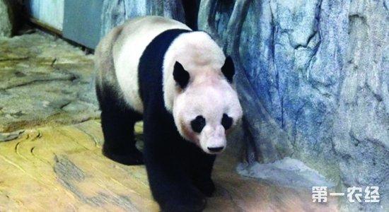 """当日下午,""""秋浜""""的专车抵达动物园,来到""""秋浜""""在深圳野生动物园的新家———熊猫庄园。在这里,""""秋浜""""享用了工作人员事先给它准备的两份""""晚餐""""。一份是从成都随飞机带来的""""川菜""""———?"""