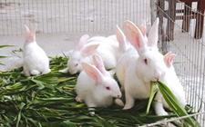 兔子吃什么?养殖兔子牧草品种的选择