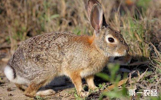 杂交野兔怎么养 杂交野兔养殖