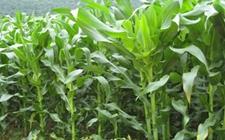 """春玉米种植技术:春玉米施肥的""""五字诀"""""""