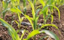 玉米苗期该如何管理?玉米苗期的管理技术要点