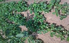 草莓种植:草莓无病毒苗的栽培特点