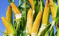 玉米怎么种?春播玉米的种植技术