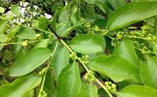 枣树种植:枣树花期的管理技术要点