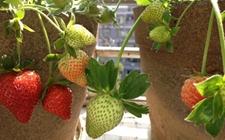 盆栽草莓的家庭繁殖方法和定植管理技术详解!