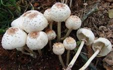 广州食药监局提醒:春雨绵绵,警惕误食野生蘑菇和河豚中毒