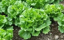生菜种植:生菜的生长环境条件介绍!