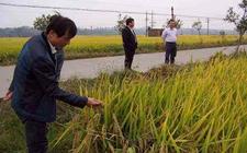 湖南:全新技术模式提高粮食生产品质效益
