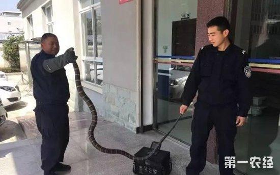6斤眼镜蛇误闯云南龙陵民宅 森警徒手抓获