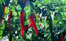 辣椒种植:春季辣椒落花落果的原因和防治方法
