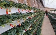 草莓种植管理:春末夏初草莓的施肥特点和施肥