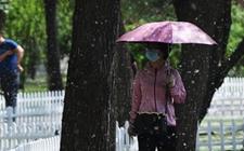 北京:针对杨柳飞絮问题进行专项整治处理