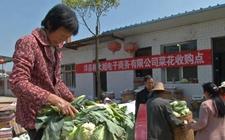 陕西洋县:菜花滞销 菜农损失惨重