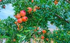 如何确保石榴树丰产丰收?抓好这些水肥管理方