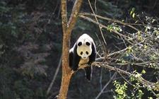 陕西:野生大熊猫种群数量稳中有升