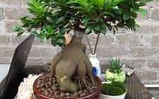 人参榕怎么繁殖?有哪些繁殖方法?