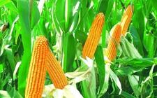"""玉米种植如何实现丰产?玉米丰产高产""""七重奏"""