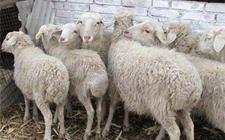 养羊技术:养吃盐的好处