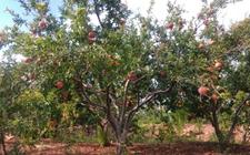 石榴树种植:如何促进石榴树多开花早结果?