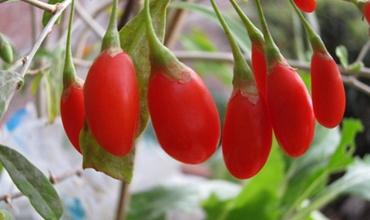 家庭盆栽枸杞该怎么养护?枸杞的四季养护技巧