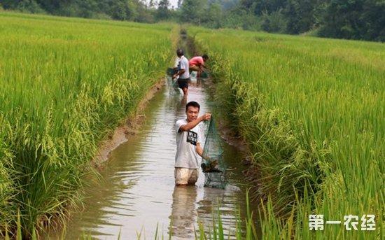 田里种着 水稻,水沟里养着小龙虾,虾沟里套种水 芹菜,田埂上搭
