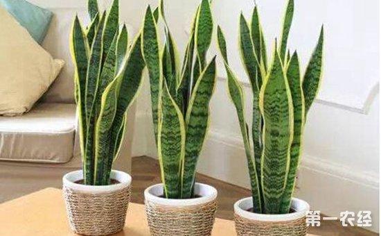 9种适合在客厅养的盆栽植物介绍 不仅好看还旺财
