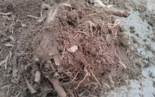 龙血树烂根怎么办?龙血树烂根的原因和解决方法详解