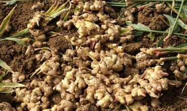 生姜的高产高效种植技术要点