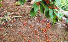 樱桃成熟期非生理性落果的原因和防治方法