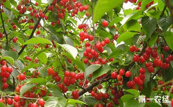 樱桃树怎么管理?樱桃树不同时期的管理技术要点