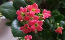长寿花怎么管理?长寿花的入夏管理