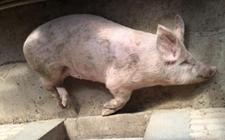 猪站不起来的原因并非只有关节炎